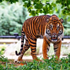 Tigre © Pixabay