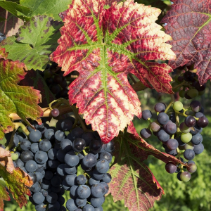Grappes de raisin © RGBstock_micromoth
